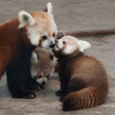 panda rojo con su cría.