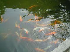 Shenzhen China, Fish, Pets, Animals, Animales, Animaux, Animal, Animais, Dieren