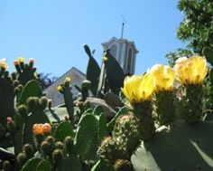 Spineless Cactus in bloom