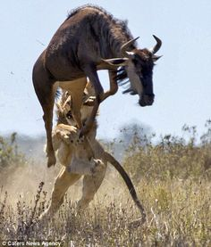 Africa   A wildebeest's escape, a 2 meter leap into the air. Kariega Game Reserve, South Africa   ©Caters New Agency