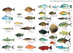 انواع الاسماك - بحث Google‏ Fishing 101, Types Of Fish, Rooster, Animals, Knots, Food, Board, Animales, We