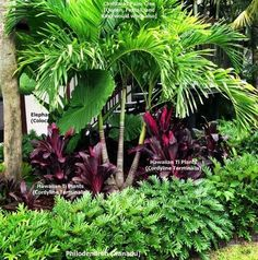 Tropical Landscape Bed - This lush bed contains only 4 plants. The contrast in heights & color give it a well-balanced look. All of the plants will work for zone 9 (except palm-see below for alternatives), but a very cold night or frost may cause some to Tropical Garden Design, Garden Landscape Design, Tropical Plants, Tropical Gardens, Landscape Plans, Hawaiian Gardens, Florida Landscaping, Tropical Landscaping, Front Yard Landscaping