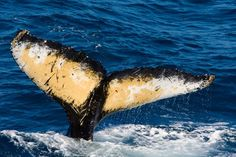 Humpback Tail Photo by Carl Palazzolo — National Geographic Your Shot Whale Tail, National Geographic Photos, Your Shot, Arctic, Amazing Photography, Photo Art, Coast, Whales, Pictures