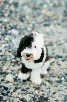 This is going to be our next puppy. NO not this picture.but a sheepadoodle. It is a hypoallergenic dog! Perfect for E. A Old English Sheepdog & a Poodle mixed! Perfect for my baby girl not to sneeze. Love My Dog, Cute Puppies, Cute Dogs, Dogs And Puppies, Doggies, Baby Dogs, Animals And Pets, Baby Animals, Cute Animals
