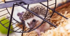 Bringing home a new spiky addition to the family? Know what you need for a hedgehog cage.
