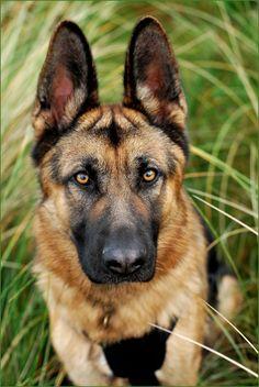 #German #Shepherd.