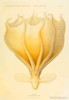 Octopus - Die Cephalopod - 1915 - Plate 92