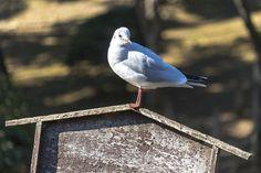 こんにちは  #ゆりかもめ#ユリカモメ#blackheadedgull #カモメ#gull #水鳥#野鳥#Wildbird#bird#birdwatching #動物#animal #風景#自然#景色#picture#landscape#nature #東京#日本#tokyo#japan#love#loves_nippon #写真好きな人と繋がりたい