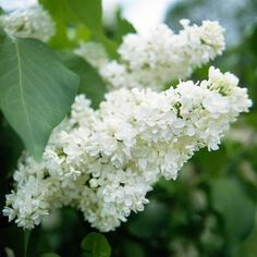 Lilacs are among the most recognizable spring flowering shrubs: http://www.bhg.com/gardening/design/styles/fragrant-plant-favorites/?socsrc=bhgpin030214lilac&page=13