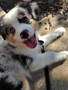 Simba the Australian Shepherd #australianshepherdpuppy