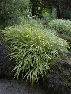 1000 images about ornamental grasses on pinterest for Low growing perennial ornamental grass
