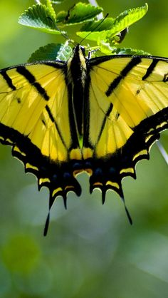 Swallowtail butterfly Of all the butterflies, I think the Swallowtail is my favourite. Such a diverse variety Butterfly Kisses, Butterfly Flowers, Butterfly Wings, Beautiful Bugs, Beautiful Butterflies, Beautiful Creatures, Animals Beautiful, Butterflies Flying, Flying Flowers