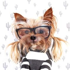She works low pigtails and glasses. Yorkie Names, Yorkie Puppy, Baby Animals, Funny Animals, Cute Animals, Cute Puppies, Cute Dogs, Teddy Bear Dog, Yorky
