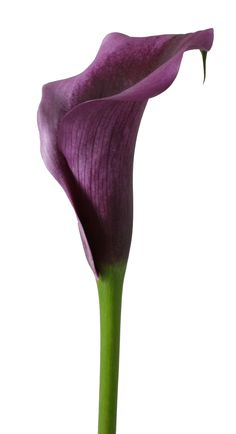Purple Moon Zantedeschia, Deep Purple, Glow, Plants, Pink, Fresh, Flora, Pink Hair, Plant