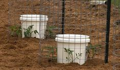 Tim shares an innovative new way to plant your tomato plants that gives them the water they need as well as great support while they grow. Each spot holds 4 . Tomato Plants, Irrigation, Tomatoes, Water, Outdoors, Gardening, Videos, Compost, Gripe Water
