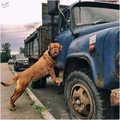 Bordeaux puppy