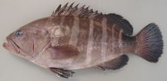 Epinephelus septemfasciatus / Grouper / Rock-cod / Seven band grouper / 泥斑