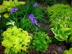 Japanese roof iris, Iris tectorum, in the gold garden at Carolyn's Shade Gardens in Bryn Mawr, PA.