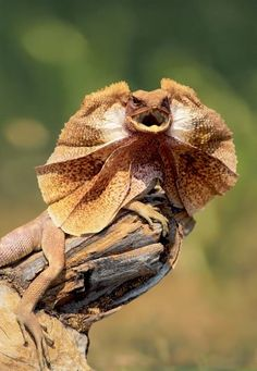 The frill necked lizard - an haute couture reptile.