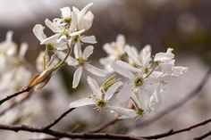 Amelanchier arborea flowers