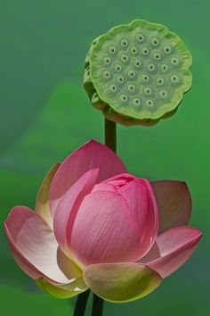 ~~Two Generations by Margaret Barry ~~ lotus