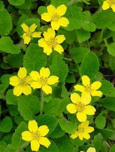 """Allen Bush 8"""" H x 12"""" W  groundcover for shade"""