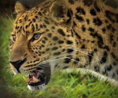 Up close and personal to an Amur leopard Photo by Andrew Rundgren — National Geographic Your Shot