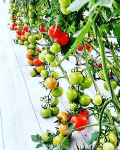 Hydroponics is rapidly becoming recognized as the most productive and efficient form of food production. Whether produce is grown indoors under artificial light or outdoors in sunlight hydroponic cultivation offers tomatoes growers many advantages! Tag/use #hydrovegan for advice/featured by hydrovegan