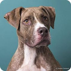 ADOPTED**Pictures of Tibble a Boxer/Pit Bull Terrier Mix for adoption in Anniston, AL who needs a loving home.