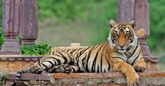 Tigers and Golden Triangle Tour - Custom made Private Guided India Tour Packages - Quality and Value for Money Holidays in India by Indus Trips - http://www.industrips.com/tigers-golden-triangle-tour/ Majestic Animals, Animals Beautiful, Exotic Animals, Beautiful Things, India Tour, India India, Kerala India, National Animal, National Parks