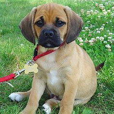 omg this is a random pic i found on google but it looks exactly like Lucky, my puggle! he/she even has the same collar...