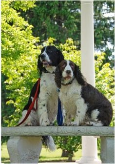 Wow, the 2 Springers in this could have been my two  http://www.fidofriendly.com/blog/how-do-you-know-you-are-a-dog-lover