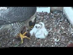 Falcon chicks defy cold spring to hatch on Nottingham roof | http://pintubest.com