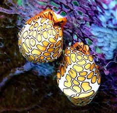 The flamingo tongue snail, cyphoma gibbosum, is a small, colorful sea snail which lives on various species of soft corals in the tropical waters of the western Atlantic Ocean, including the Caribbean Sea. Weird Sea Creatures, Ocean Creatures, Beautiful Creatures, Animals Beautiful, Beautiful Things, Some Amazing Facts, Amazing Pics, Under The Ocean, Sea Snail