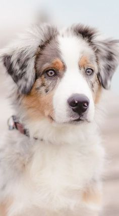 5 Dog Breeds For The Active Owner Australian Shepherd. 5 Dog Breeds For The Active Owner Animals And Pets, Baby Animals, Funny Animals, Cute Animals, Aussie Dogs, Australian Shepherd Dogs, Mini Aussie, Cute Puppies, Cute Dogs