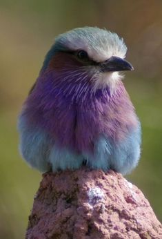Fantastic photo of a Lilac Breasted Roller by yampinon on deviantart.