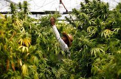 10 Common Interesting Myths About Marijuana