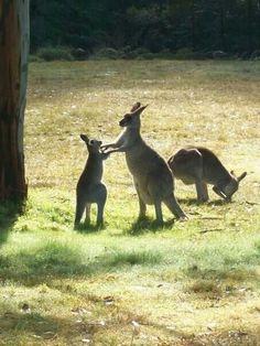 Kangaroo life in the blue mountains australia