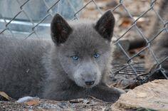 so stinking cute! Blue German Shepherd, German Shepherd Puppies, Shepherd Dog, German Shepherds, Large Dog Breeds, Large Dogs, Gsd Puppies, Blue Dog, Fur Babies