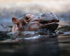 Little Hippopotamus at Zoo Berlin
