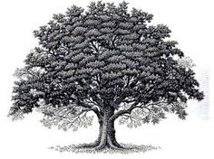 Image result for Drawings of Old Oak Tree