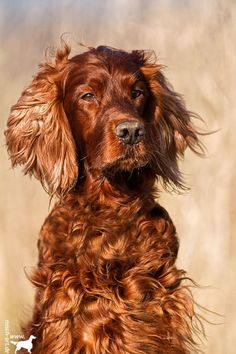 Irish Girl - my second favourite dog - Red Setter