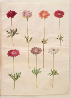 Gottorfer Codex, vol. 3, gouache on parchment by Hans Simon Holtzbecker, Anemone coronaria, Anemone stellata, KKSgb2949/40 - Statens Museum for Kunst, National Gallery of Denmark