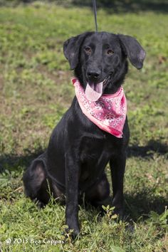 #TEXAS ~ Mindy $40 #ADOPTION SPECIAL!! is a Spayed UTD vaccines Black Labrador Retriever mix in need of a loving #adopter / #rescue at GONZALES ANIMAL CONTROL  400 CR488 (off FM532 / Moulton Rd) #Gonzales TX 78629 animalcontrol@cityofgonzales.org Ph 830-672-8686
