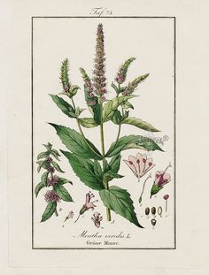 "Antique prints of ""Mint, Mentha viridis"" from Eduard Winkler Medicinal Prints 1832"