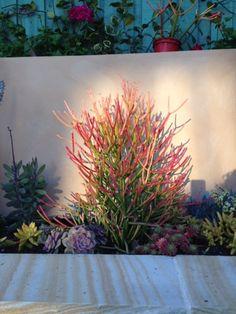 How striking are Euphorbia firesticks.....