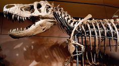 He's Here! Smithsonian's New T. Rex Arrives