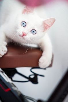 white kitten blue eyes- this will be mine and it's name shall be Sailor