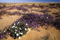 Picture of the Dunes covered in purple and white flowers. Photo by Bob Wick Purple And White Flowers, Designated Area, Bureau Of Land Management, The Dunes, Wilderness, Acre, North America, Country Roads, Purple Stuff