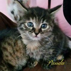 Pflegekätzchen Panda, Schwester von Tigerle, eine süße Main Coon.